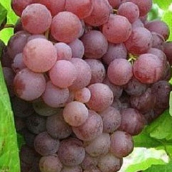 Grape 'Suffolk Red'